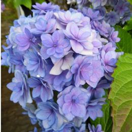 Hydrangea macrophylla Together (You & Me Series) Blue (H)